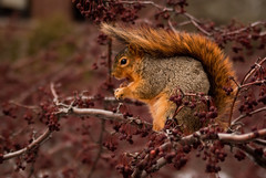 I Haz A Hat (ChongoIsDanegerous) Tags: winter food cold tree nature hat animal hair fur photography photo berry squirrel warm berries image branches picture eat cover photograph snack dane nibble creature chomp munch fuzz hillard nom sonyalphadslra200 danehillard