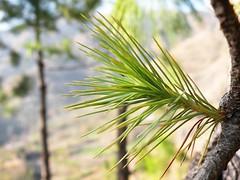 Image 2 (Dinesh Lakhanpal) Tags: wild leaves pine forest leaf nikon jungle coolpix needles dinesh p80 lakhanpal