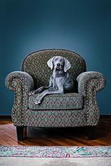 [フリー画像] [動物写真] [哺乳類] [イヌ科] [犬/イヌ] [ワイマラナー] [ソファー]     [フリー素材]