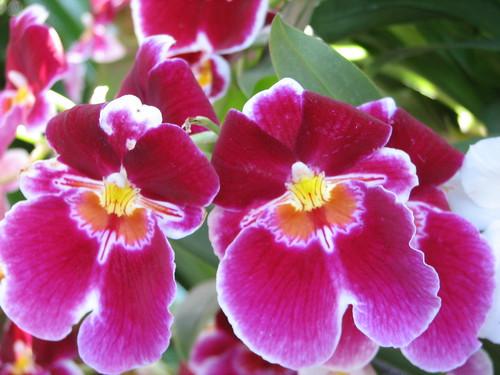 orchid buddies