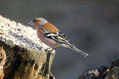 Male Chaffinch on a tree stump (dave millers photos) Tags: male nature birds durham low barns reserve co british chaffinch
