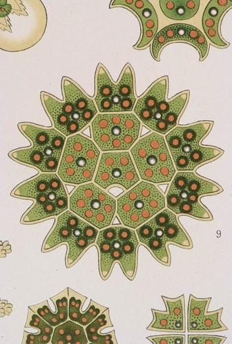 //Melethallia (detail),// Ernst Haeckel, Kunstformen der Natur. Chromolithograph 32 x 40 cm, Verlag des Bibliographischen Instituts, Leipzig 1899-1904. Photograph by D Dunlop.
