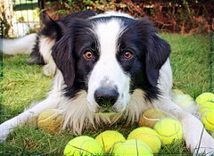 Ball? (meg price) Tags: dog ball collie border tennis bordercollie barney mywinners magicunicornverybest