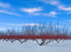 Blue Red and White orchard (joiseyshowaa) Tags: park county new blue winter red white snow tree apple season newjersey war shoot state nj peach jersey monmouth battlefield revolutionary orchards justclouds wemrock joiseyshowaa joiseyshowa