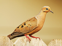 Dove (_Maji_) Tags: nikon dove nikond300 100commentgroup