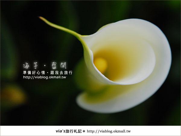 【2010竹子湖海芋季】陽明山竹子湖海芋季~海芋盛開囉!25