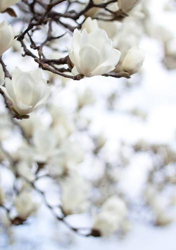 Magnolia*