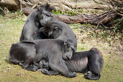 2010-03-18-13h10m42.272P5017l (A.J. Haverkamp) Tags: zoo rotterdam blijdorp dierentuin sulawesimacaque diergaardeblijdorp zwartekuifmakaak httpwwwdiergaardeblijdorpnl canonef100400mmf4556lisusmlens
