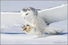 Owl (Snowy) - 2420 (Earl Reinink) Tags: flight raptor snowyowl snowyowlinflight earlreinink wwwearlreininkcom wwwipaintca