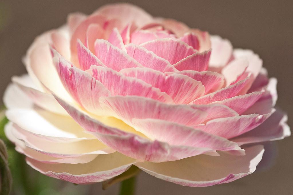 Rosy ranunculus