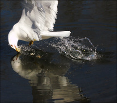 ~ Bait the Bird ~ (ViaMoi) Tags: canada reflection bird water canon seagull ottawa flight splash waterfowl swoop splashing skimming penetrate actionphotography swooping 70mm200mm viamoi baitthebird