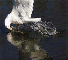 ~ Bait the Bird ~ (ViaMoi) Tags: canada reflection bird water canon seagull ottawa flight splash waterfowl swoop splashing skimming penetrate actionphotography swooping 70mm200mm viamoi baitthebird