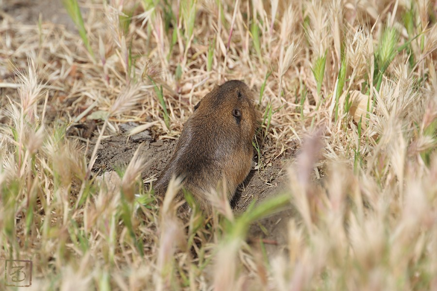 Botta's Pocket Gopher 05091
