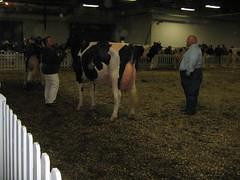 Scarlet-Summer RB Gwendelyn (Carrie J. Bosch) Tags: show summer white black scarlet cow spring cows pennsylvania 5 five farm year champion grand best class dairy rubens bovine rb harrisburg own yr holstein udder calves bred heifer gwendelyn