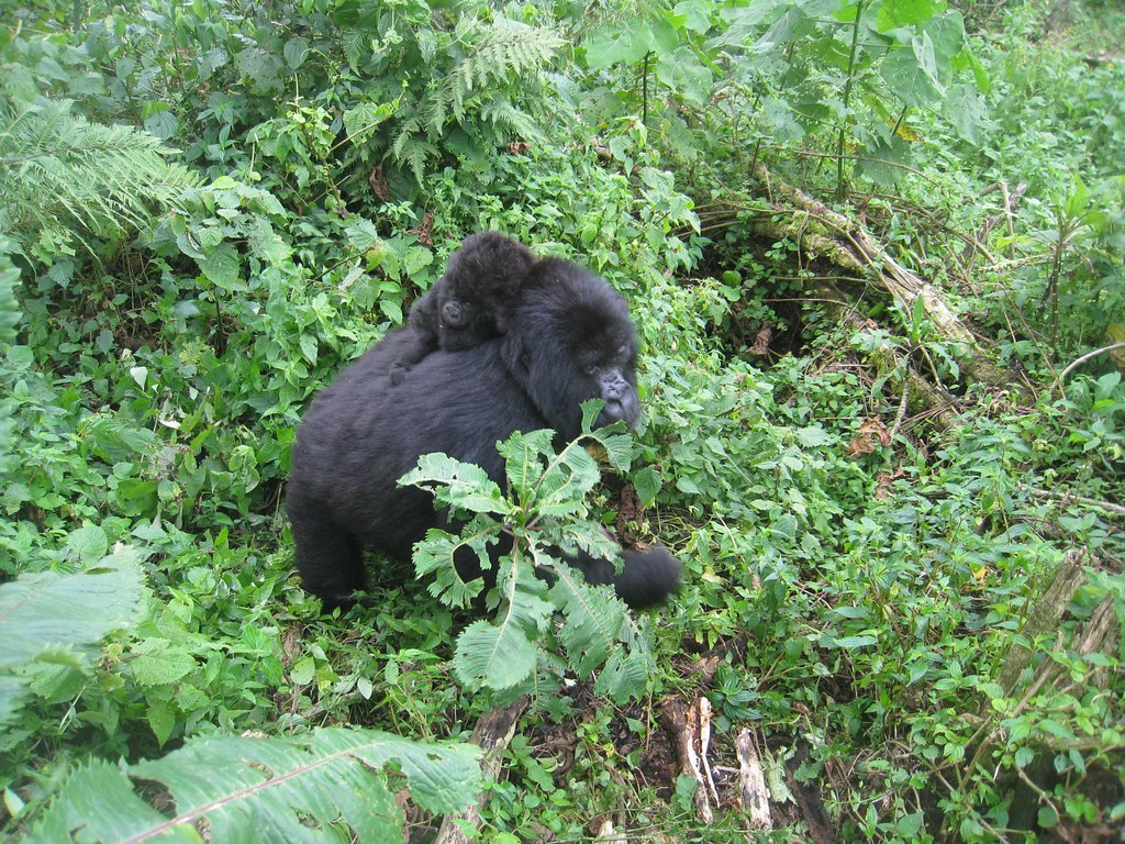 A mama gorilla passes by us with a baby on her back.