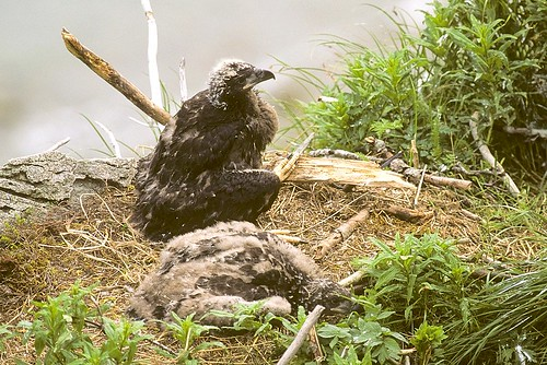 Bald Eagle chicks in the nest - Katmai Alaska USA_980009 (1)-1