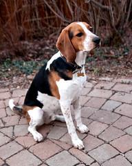 298/365 Evening sit (Paguma / Darren) Tags: dog hound floyd tamronspaf1750mmf28xrdiiildasphericalif