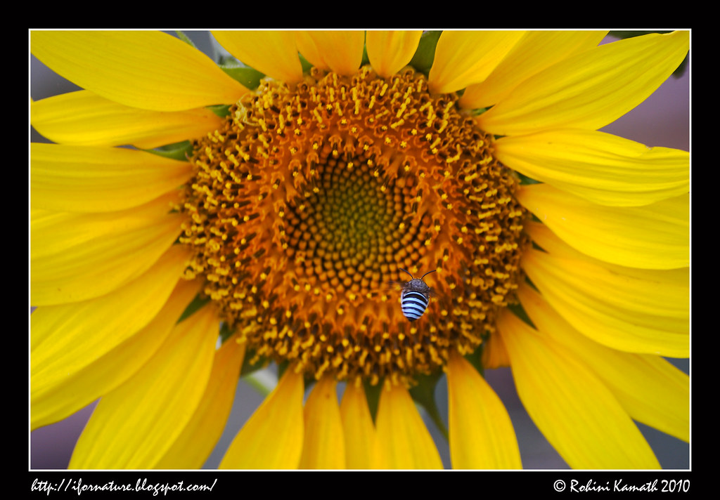 Sun Flower with Little Blue Insect