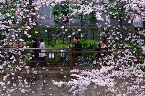 Framed with sakura / 桜の額縁