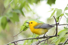 Male Prothonotary Warbler (Mark Nickle) Tags: trees green bird yellow island bokeh alabama supershot bej specanimal abigfave avianexcellence shellmounds goldstaraward goldstarawardgoldmedalwinner canonxsi
