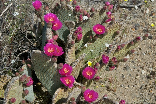 flowering cactus in Anza-Borrego Desert State Park  0009