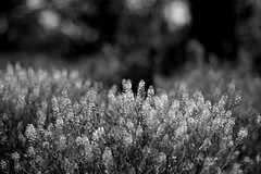 Fuzzy Wuzzy Feelings (Jen R {Sparrow's Heart Photography}) Tags: plants white black blur nature monochrome backlight 50mm dof bokeh highcontrast monochromatic backlighting dps