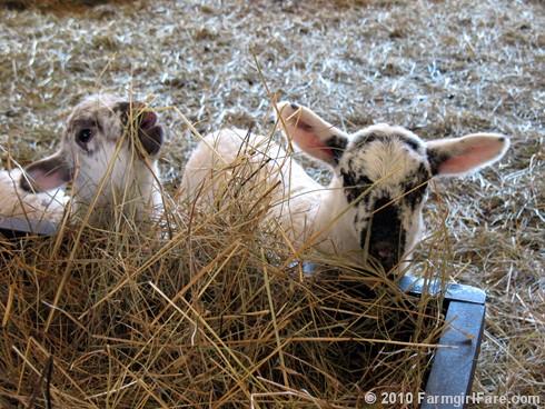 Random Lamb Cute 3