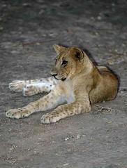 Lion Cub, South Luangwa