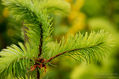 Pine Branch (Andrew Gentle) Tags: newzealand tree green pinetree pine grow pineneedles southisland queenstown needles pinetrees shallowdepthoffield newzealandsouthisland queenstownnewzealand
