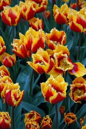 Tulipani Hermitage