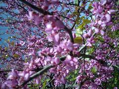 sprintime (video_max) Tags: pink flower verde primavera colors season power d rosa natura cielo planet fiori sole acqua azzurro frutta colori botanica vitamina rami bellezza vitale vivere naso sping buon pesco profumo vegetazione fronde pianeta linfa solare fiorellini stagione umore fotosintesi nikond90 videomax assusare