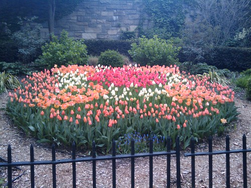 New York tulips in April