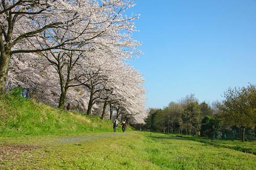cherry blossom at saitama