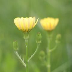 wildflower (M.Christian) Tags: usa flower macro green art nature colors yellow closeup canon photography photo dof bokeh utatafeature