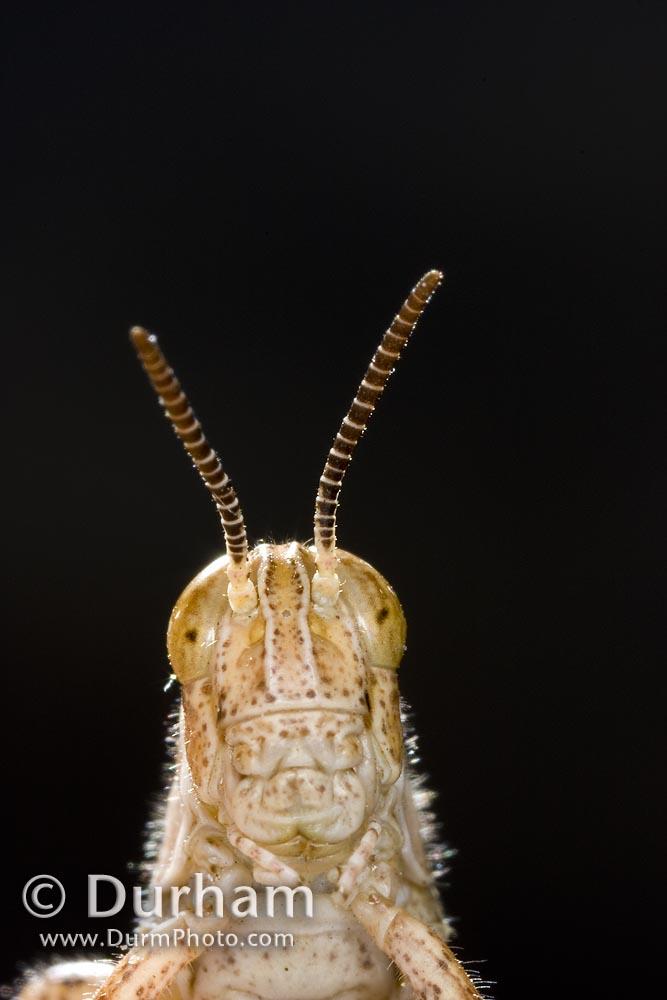 grasshopper face