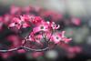 ' As for the still air...  It will rain soon. Ahead of that I whisper my wish.... ' (©Marie Eve K.A.❦ (away..)) Tags: pink flower nature canon eos dof cloudy bokeh foggy 85mm dogwood carlzeiss morninghaze ハナミズキ 花水木 superaplus aplusphoto benthamidiaflorida plarar