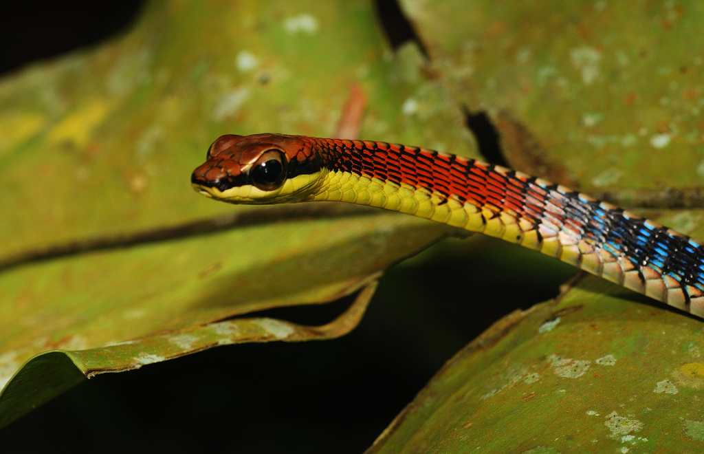 Slithering Snakes Of Singapore Field Herp Forum