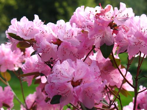 pink rhododendron (azalea)