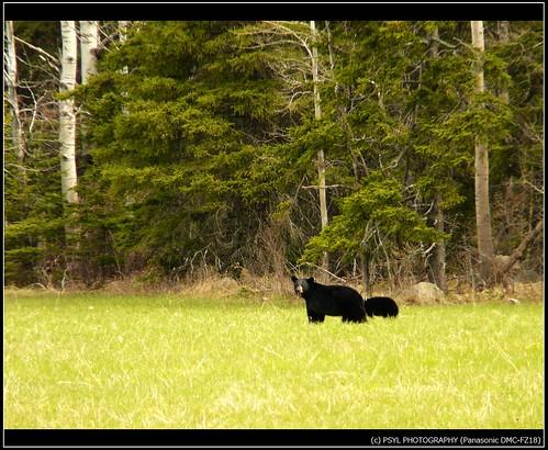 Black Bear Mama and Cub
