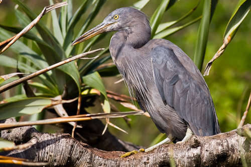 Eastern Reef Egret - grey morph