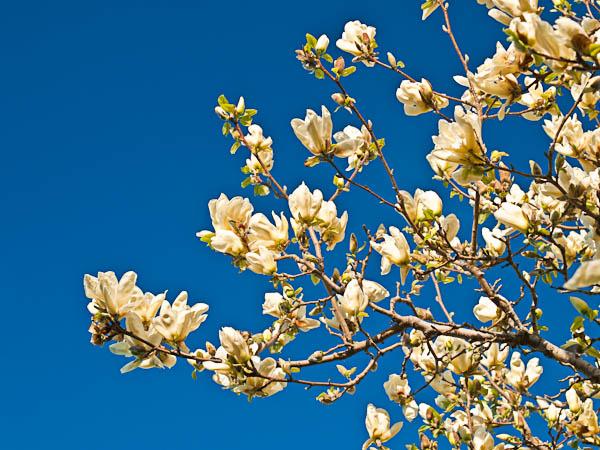 Magnolias at Longenecker Garden at University of Madison Arboretum