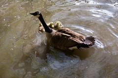 Bois de la Cambre/ Ter Kamerenbos (Laura :))) Tags: park nature water birds spring woods may mai canadagoose brantacanadensis boisdelacambre bernacheducanada grotecanadesegans terkamerenbos