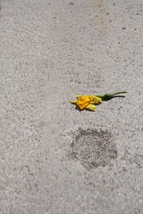 Last Hoorah (enveehaze) Tags: flower green yellow circle concrete grey sad flat minimal picked daffodil wilted lonely minimalism minimalist bereft plucked allbymyself msh0510 msh051012