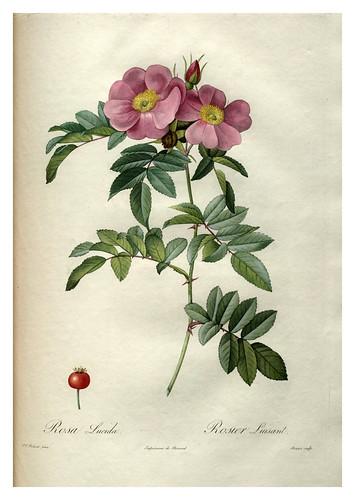 004-Les roses 1817-1824- Pierre-Joseph Redouté