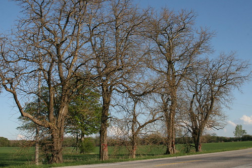 These five Osage Orange trees are not rare or endangered but they are a very unusual find in the area being more prevalent in the Central United States. (Photo by Melody Falconer-Pounder)