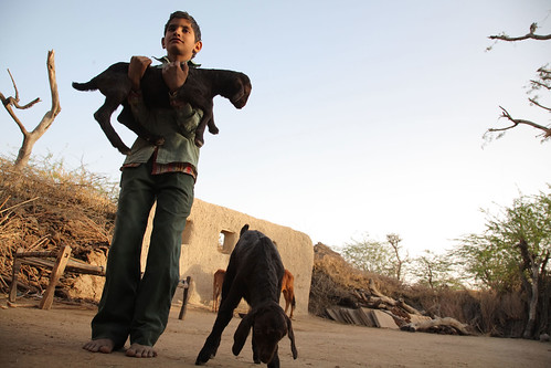 Boy and goats in Rajasthan