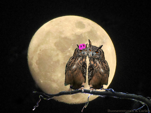 Owls In Love. eagle owls in love in the