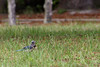 While sitting on a Cedar Key State Park and Museum bench, a Blue Jay was checking me out ... frie...