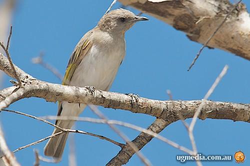 Rufous-throated honeyeater (Conopophila rufogularis)