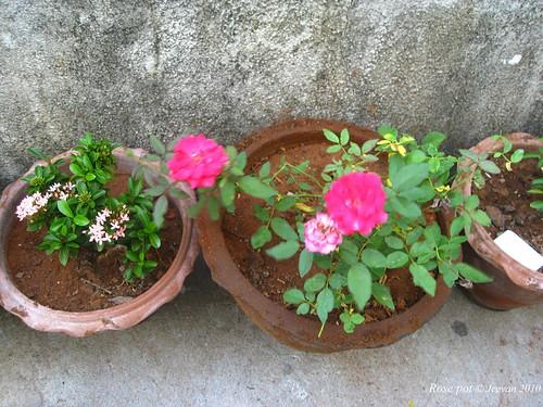 Rose pot